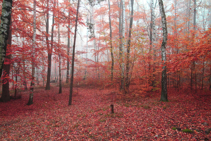 桦树森林 免版税库存照片