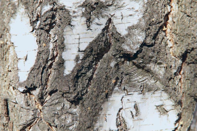 桦树的白色吠声抽象背景纹理  免版税图库摄影