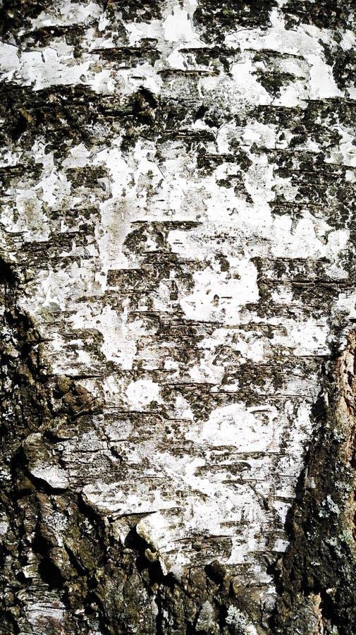 桦树皮肤 库存图片