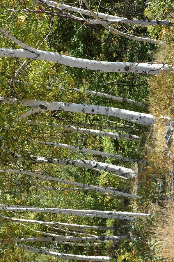 桦树立场 库存图片