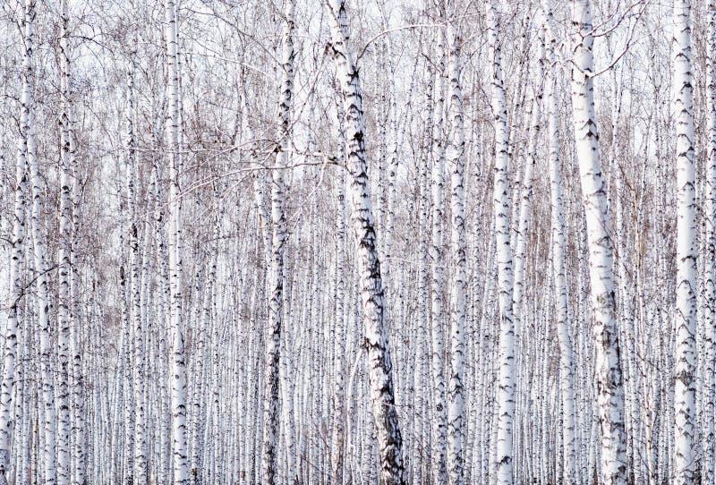 桦树背景 免版税库存照片