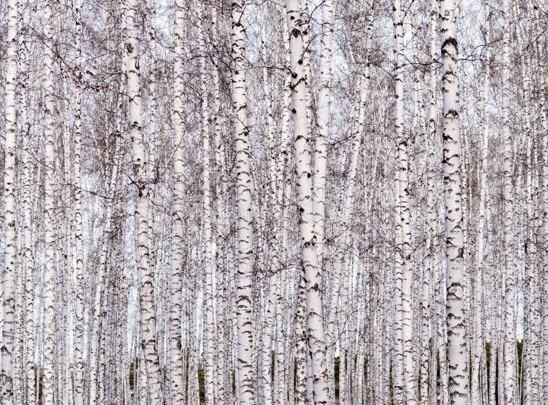 桦树背景 库存图片