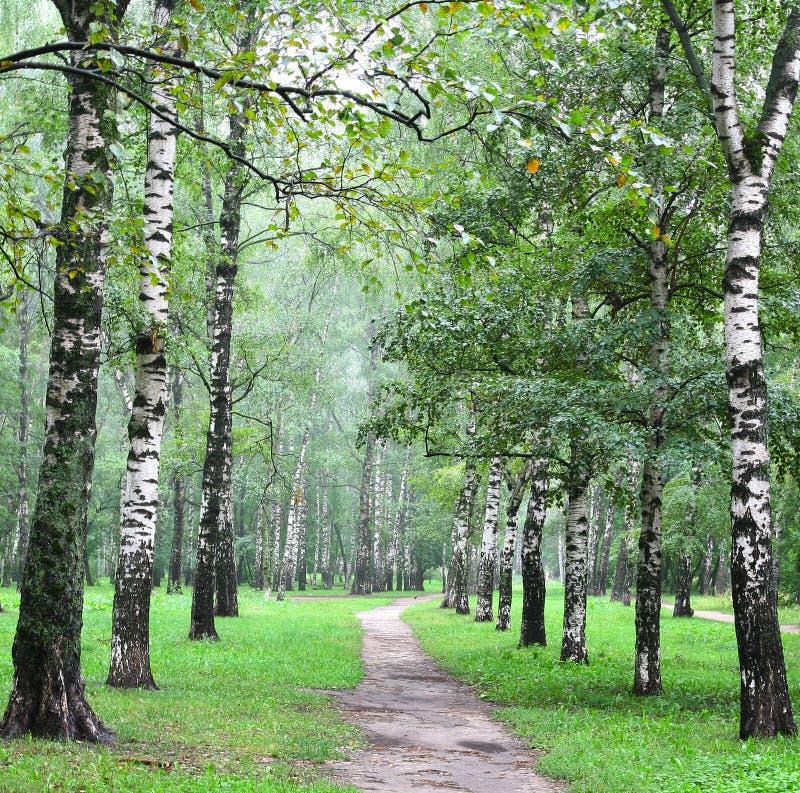 桦树胡同在夏天森林里 免版税库存图片