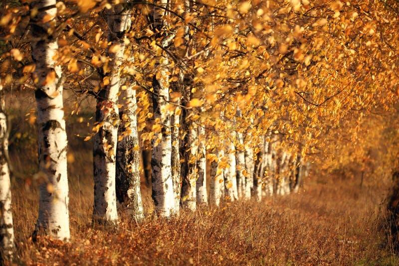 桦树胡同在秋天俄罗斯 免版税库存照片