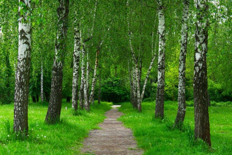 桦树胡同风景 春天桦树 免版税库存图片