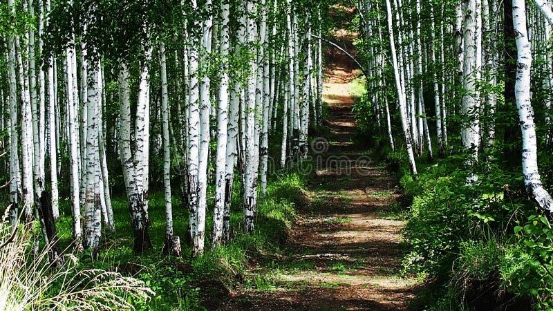 桦树胡同风景 桦树谷的森林视图 桦树胡同场面 虽则观看桦树胡同的树 库存照片