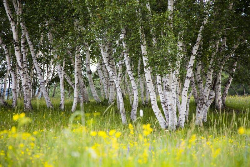 桦树花银 库存图片