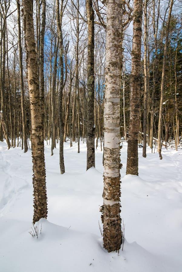 桦树雪的落叶树森林在马德琳海岛上的大海湾国家公园在威斯康辛北部 免版税库存图片