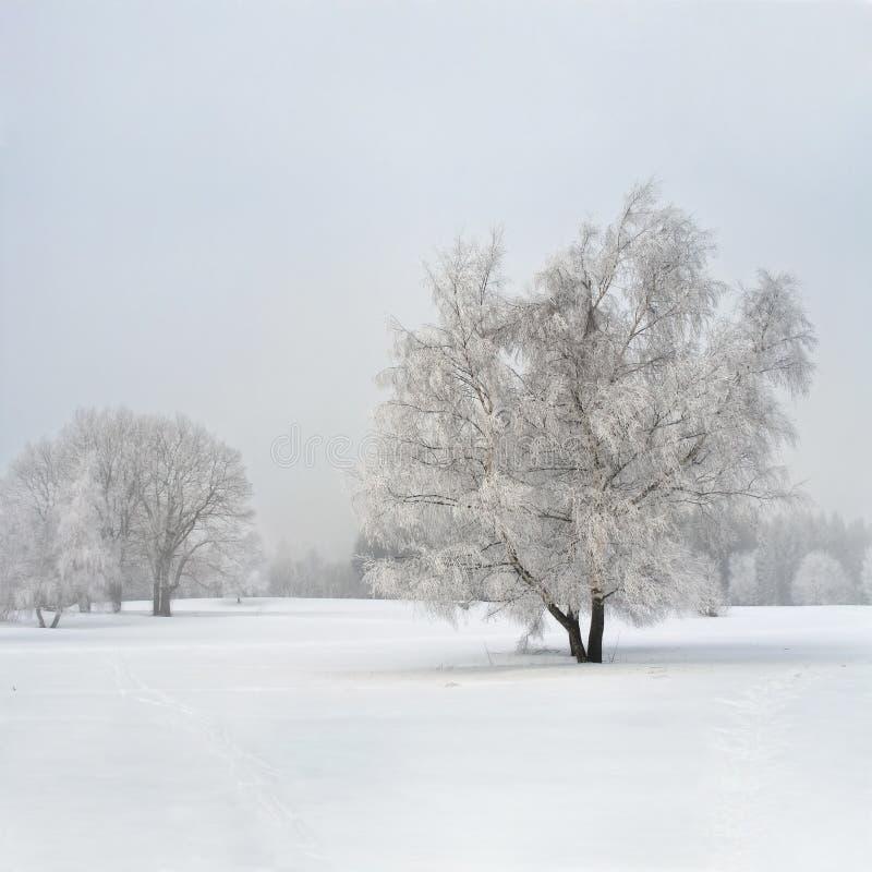 桦树雾冻结的结构树 库存图片