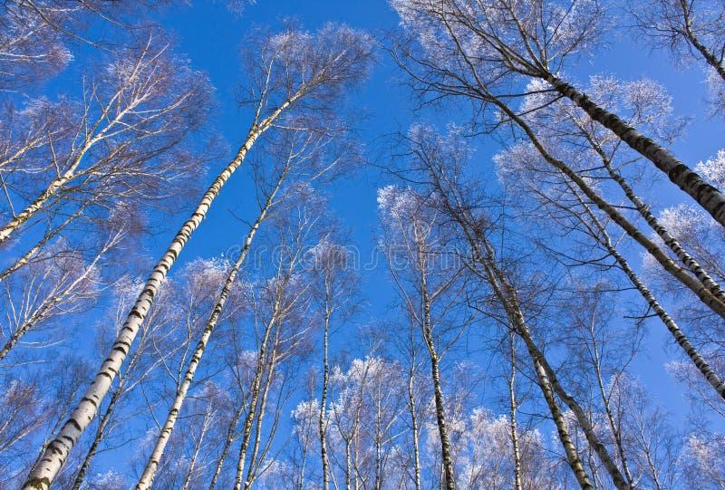 桦树顶层 免版税库存图片
