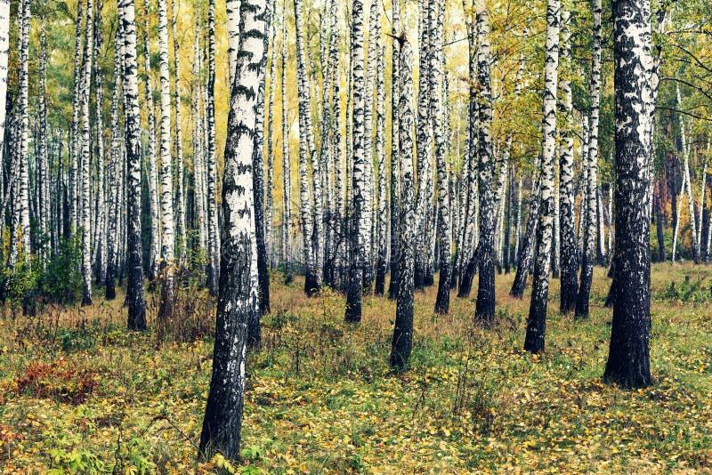 桦树,秋天,森林,秋天,草,树丛,风景,自然, 免版税库存照片