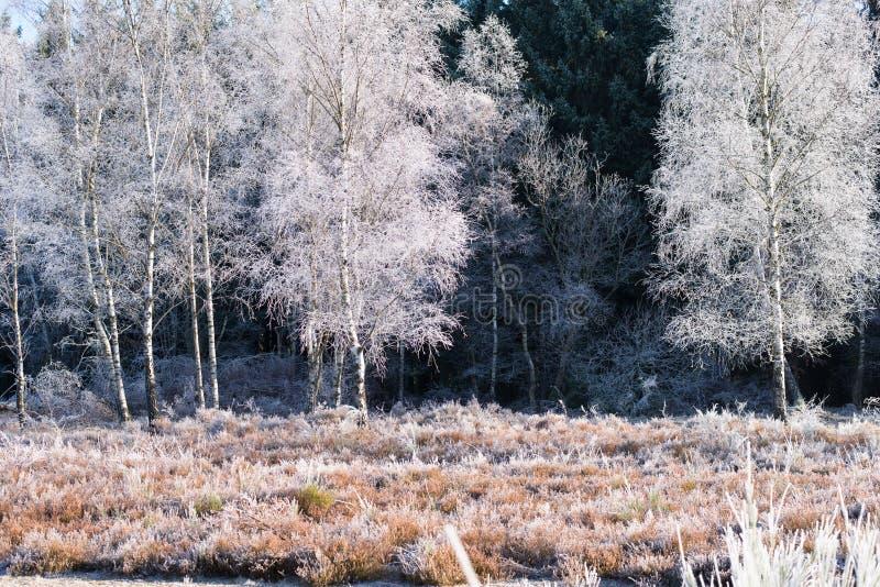 冻桦树 免版税图库摄影
