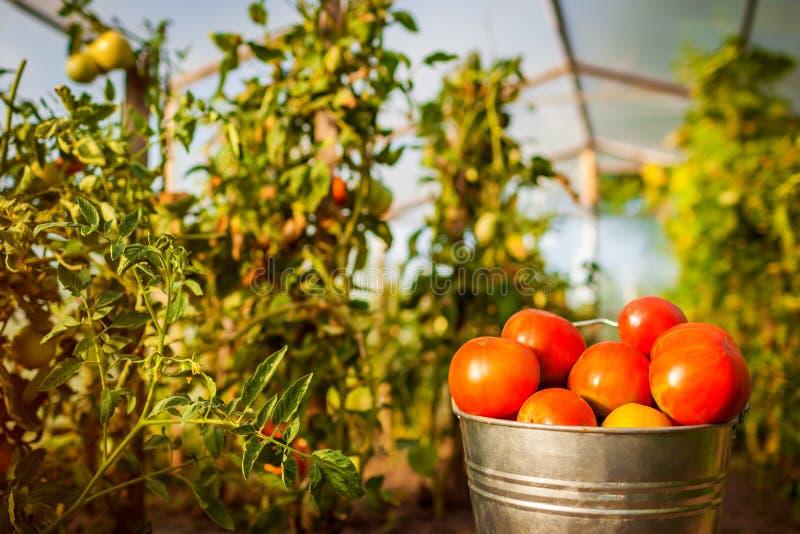 桶在温室的红色蕃茄农场的 种田,从事园艺的概念 库存图片