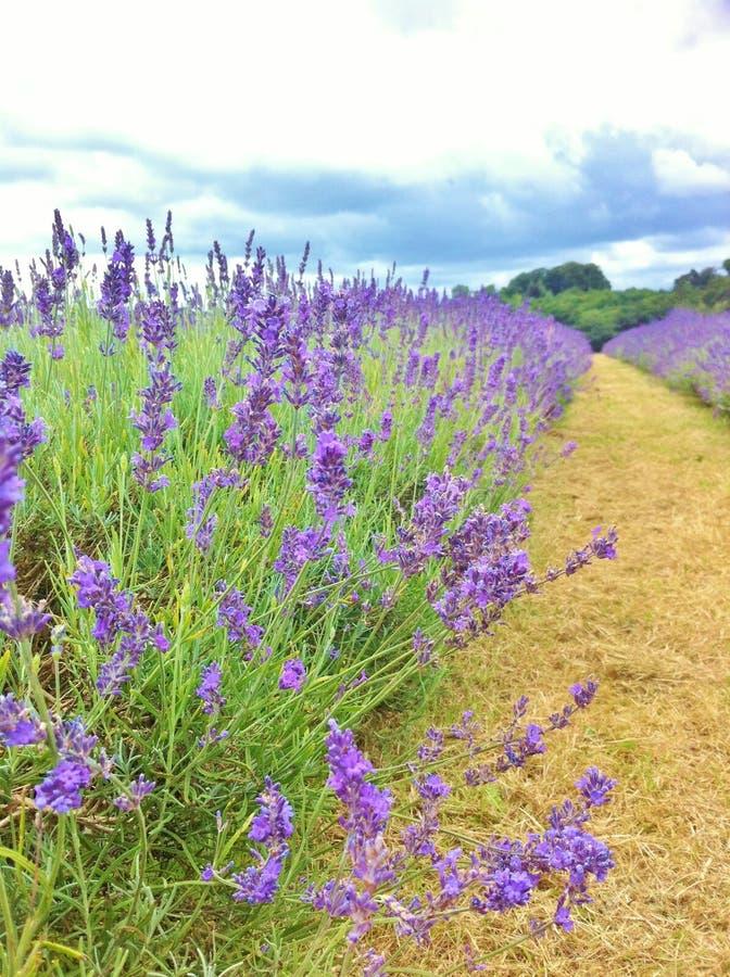 梅菲尔德淡紫色农场在夏天 吉尔福德,英国 库存图片