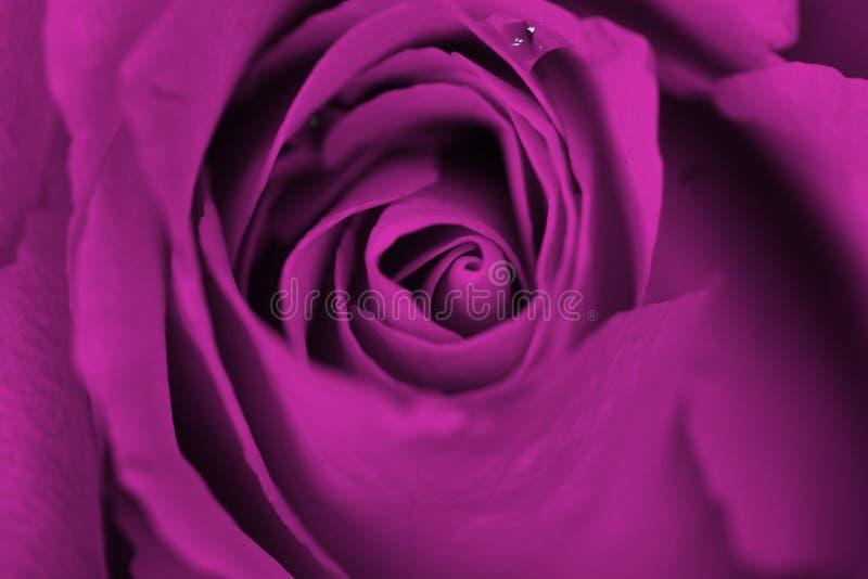 梦想的紫色玫瑰 免版税库存照片