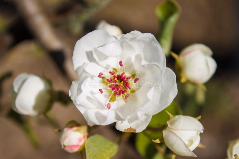 梨在春天 库存照片