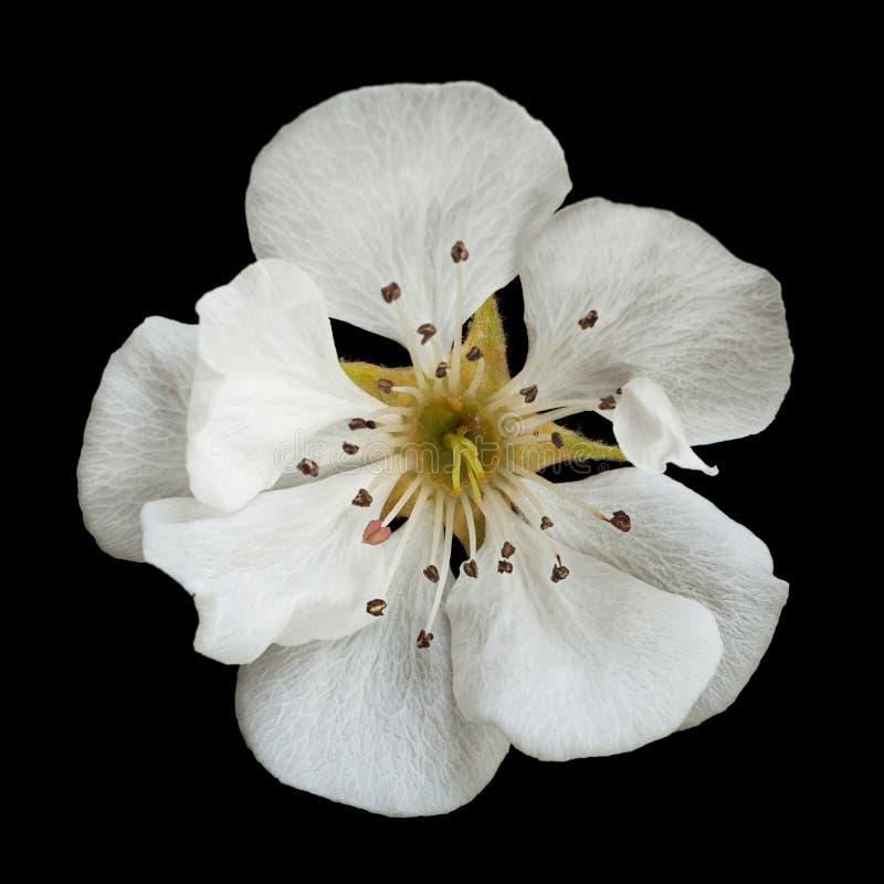 梨在黑色的开花花 免版税库存图片