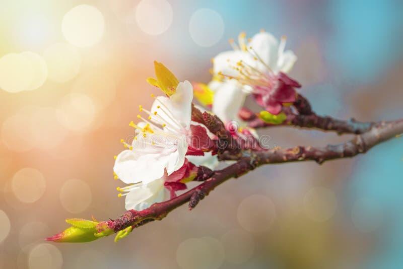 梨开花在春天 免版税库存图片