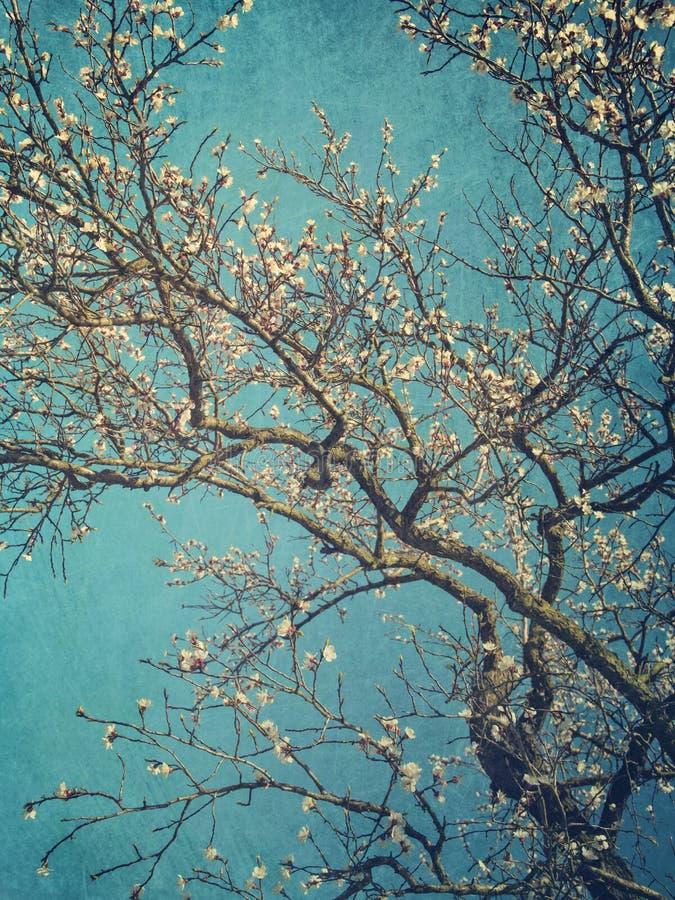 梨开花在春天 免版税库存照片