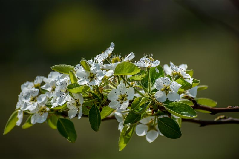 梨开花花, Shalimar庭院,克什米尔 免版税库存照片