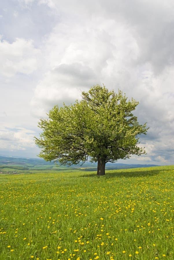 梨春天结构树 免版税库存图片