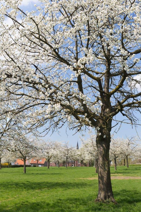 梨果树园在富兰德 免版税库存照片