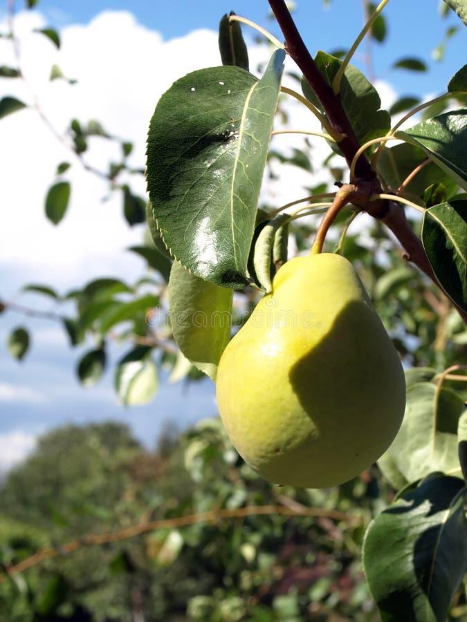 梨枝杈 免版税库存图片
