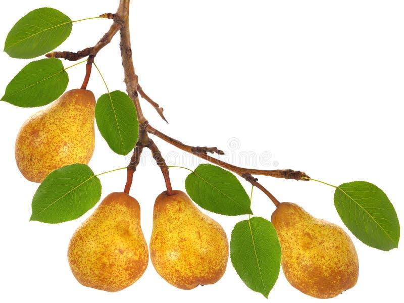 洋梨树分支用果子和叶子 库存图片