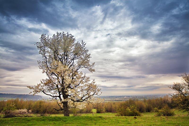 梨树开花在春天 4月在喀尔巴汗 库存图片