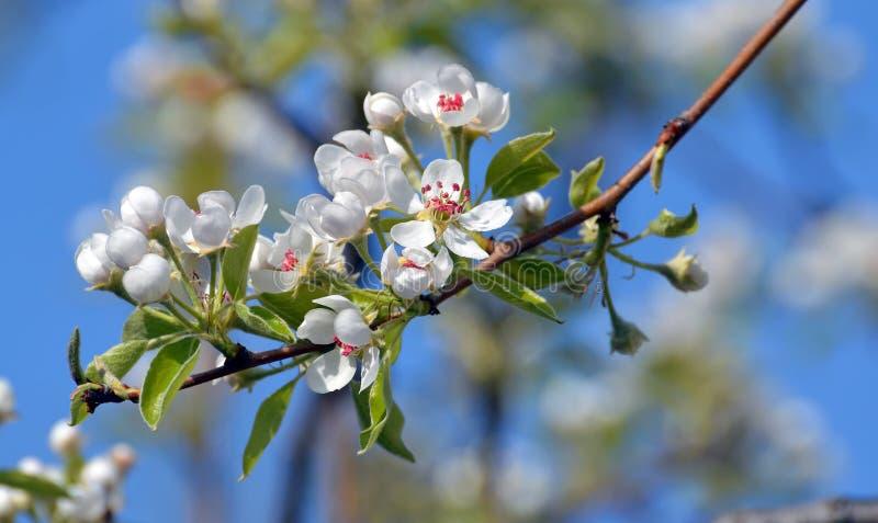 洋梨树开花 库存图片