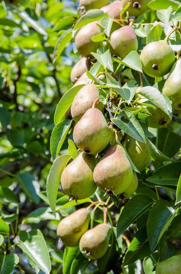 洋梨树用果子 免版税库存图片