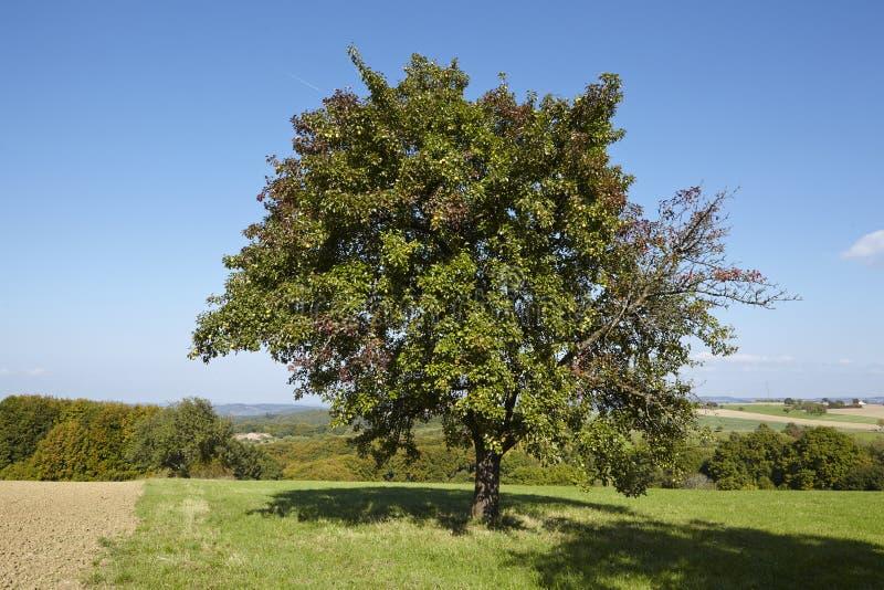 洋梨树-在一个开放风景的唯一洋梨树 免版税库存照片