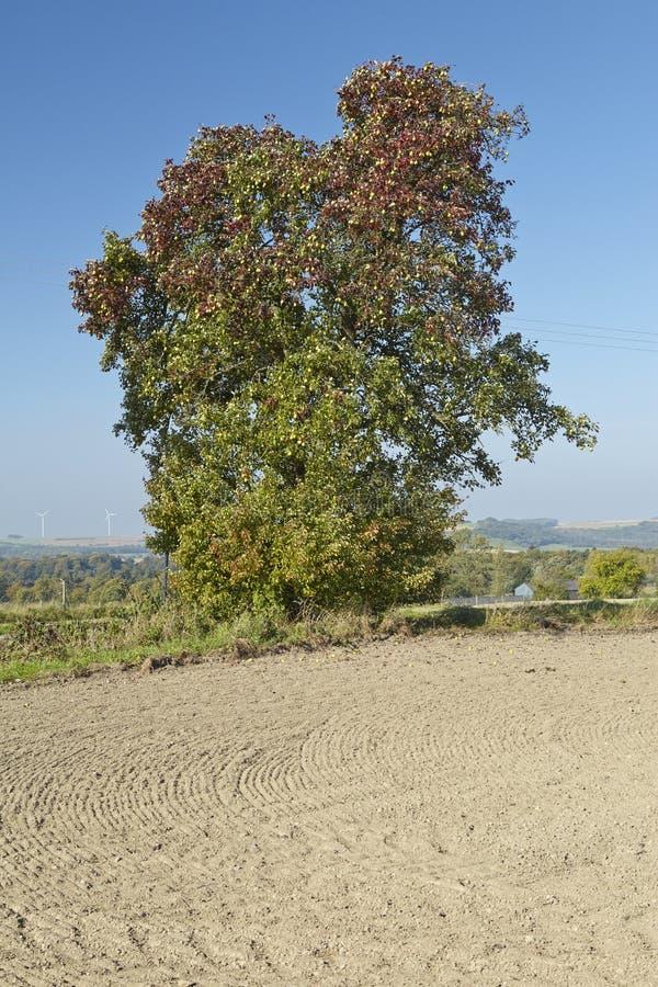 洋梨树-在一个开放风景的唯一洋梨树 库存图片