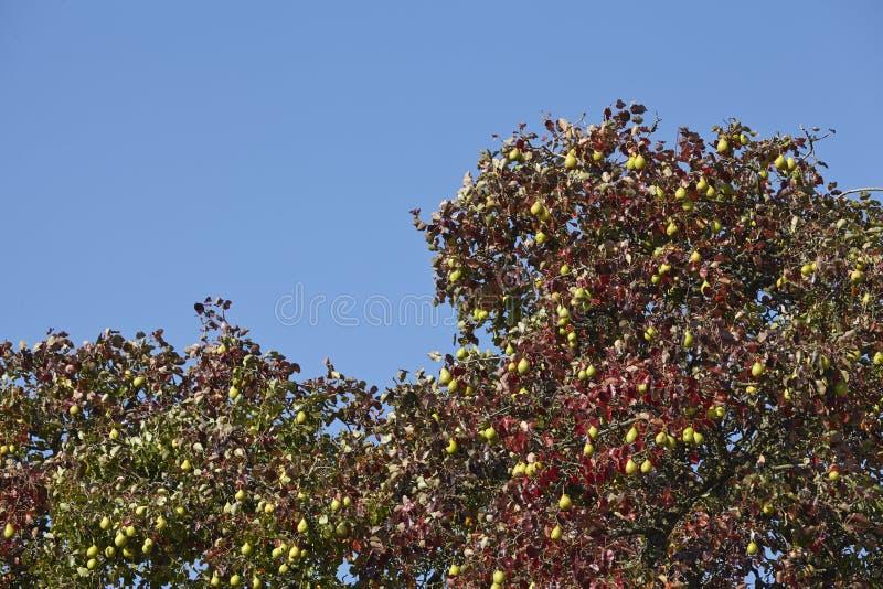 洋梨树-洋梨树的树冠 免版税图库摄影