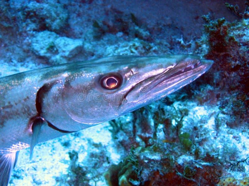 梭子鱼 免版税库存图片