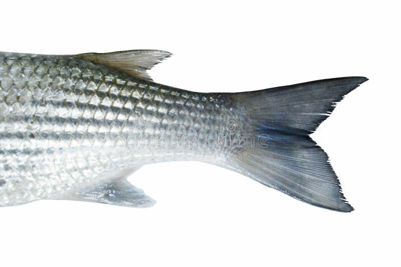梭鱼鱼 免版税库存图片