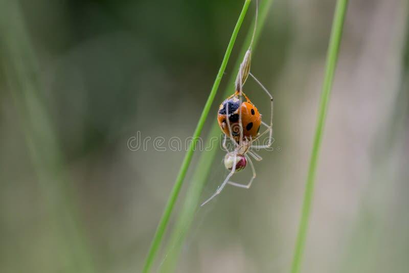 梳子有脚的蜘蛛困住的瓢虫 免版税图库摄影