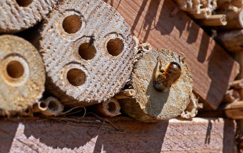 检查一个潜在的筑巢地的红色泥工蜂 免版税库存图片