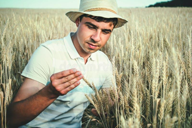 检查五谷的质量的领域的农夫 图库摄影