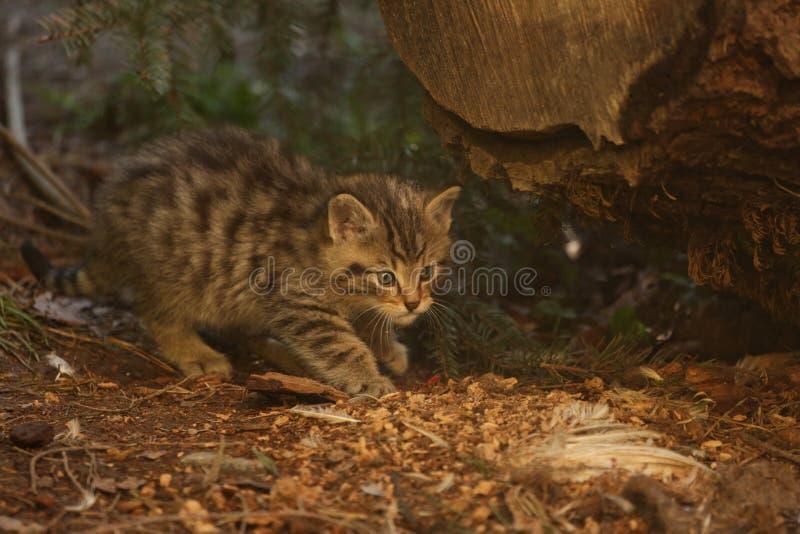 检查从它的膳食的欧洲不可靠的小猫残羹剩饭 免版税库存照片