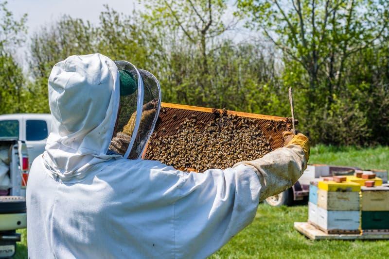 检查从蜂箱的蜂农巢盘子 免版税库存照片