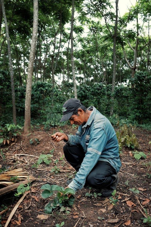 检查他的在他的粗粒咖啡种植园前面的地方农夫草莓 库存图片