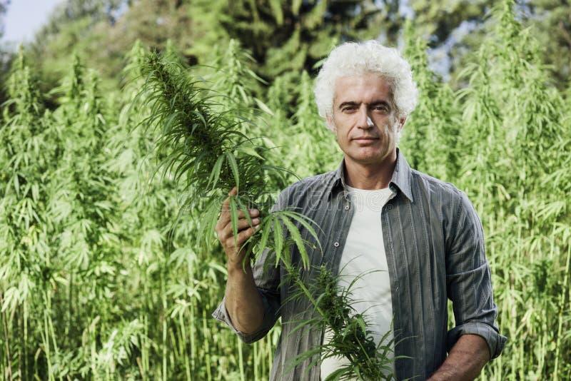 检查大麻植物的农夫 免版税库存照片