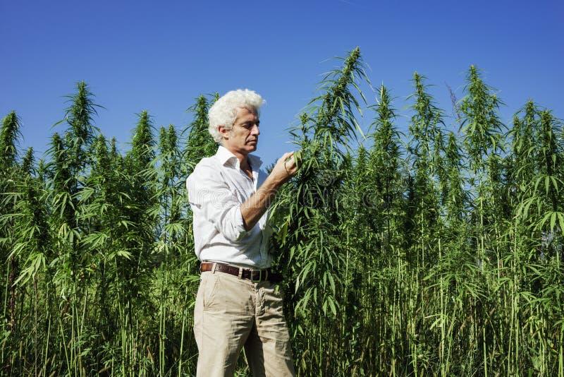检查大麻植物的确信的企业家 库存照片