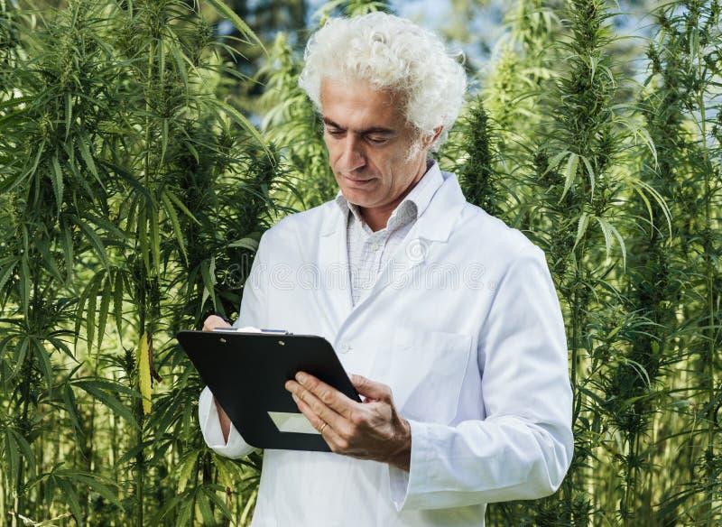 检查大麻植物的科学家 免版税图库摄影