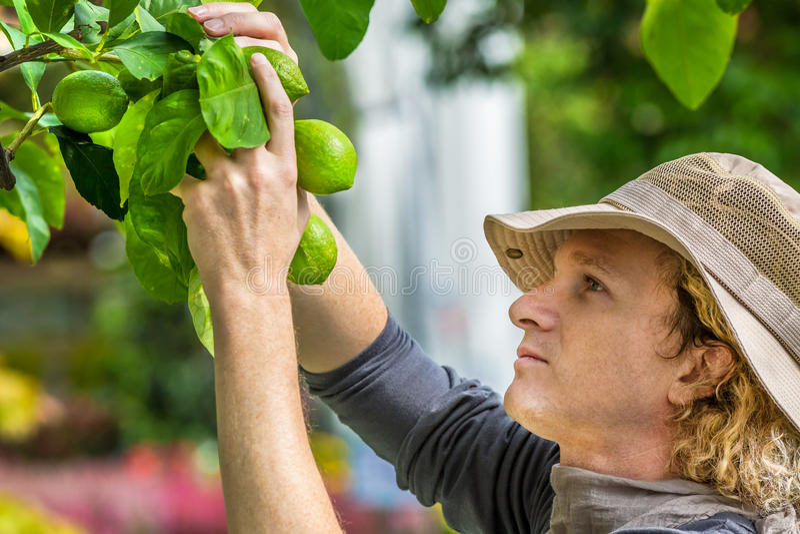 检查柠檬的农夫 库存图片