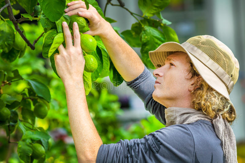 检查柠檬的农夫 免版税库存图片