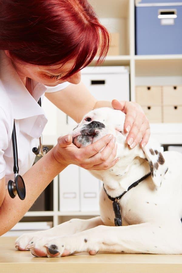 检查拳击手的下颌的兽医 免版税图库摄影