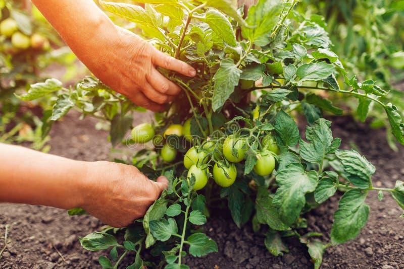 检查绿色蕃茄的资深妇女农夫生长在农场 种田,从事园艺的概念 库存图片