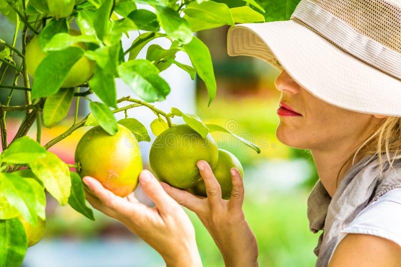 检查葡萄柚的农夫 库存照片